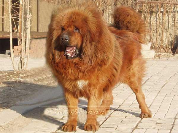 产于西藏(国家二类保护动物