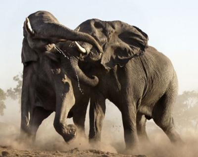 为权利而战的大象