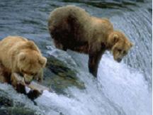棕熊的美餐