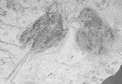 """""""孔子鸟化石""""见证1.25亿年前爱情"""