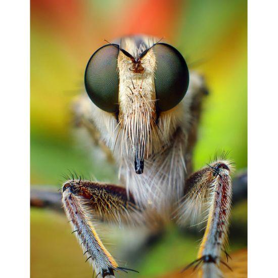 雄食虫虻的眼睛