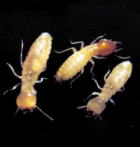 白蚁,不是白色的蚂蚁