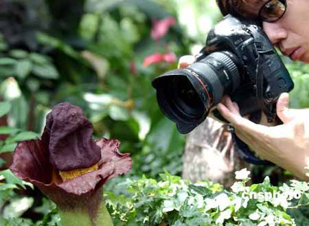 """稀有植物""""疣柄魔芋""""花开"""