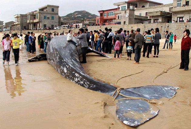 福建渔民误捕7吨重灰鲸