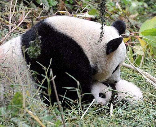 大熊猫半野化环境中喂养宝宝