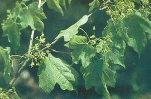 将近灭绝植物羊角槭