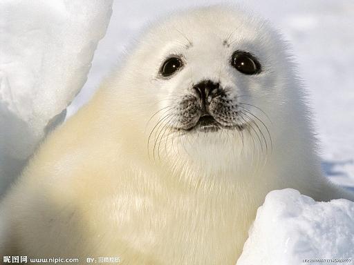 海豹动物的图片