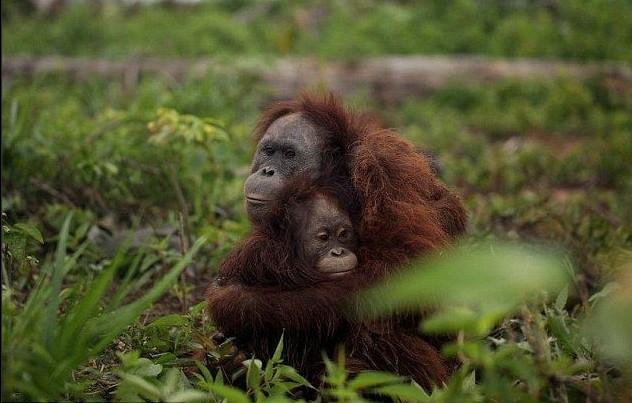 野生猩猩遭捕杀 危急关头母猩猩仍紧抱幼子