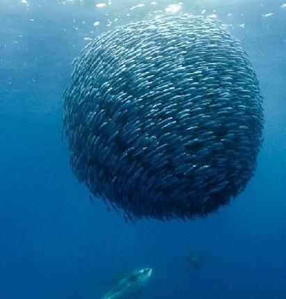 奇妙海洋世界图片 海鸟集体俯冲入水