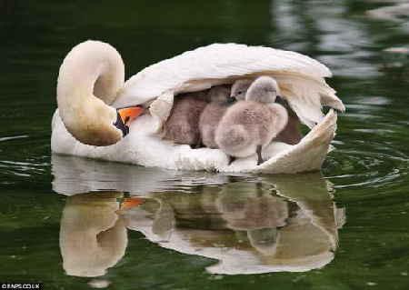 天鹅背幼鸟回巢图