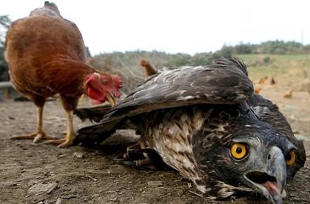 老鹰遭小鸡报复 从此不敢抓鸡