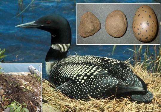 研究发现潜鸟会误将石头当蛋孵