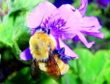 大黄蜂:能飞越珠穆朗玛峰