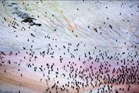 """南极不仅""""白茫茫"""":粉色企鹅粪和绿色藻类"""
