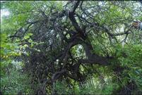 山西绛县发现250多株古茶树 最大已有千年(图)