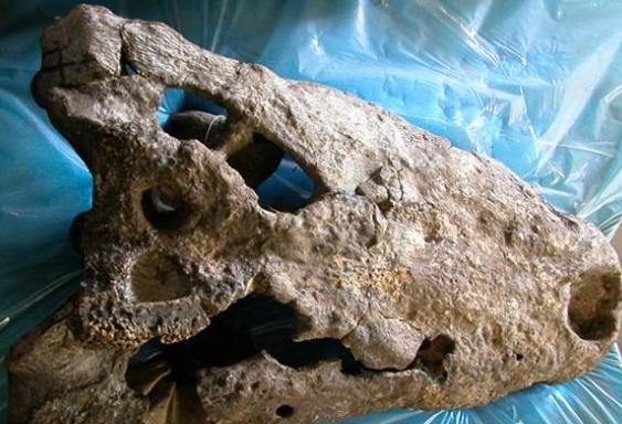 肯尼亚现巨型史前鳄鱼化石:长8.3米可生吞活人