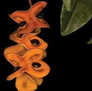 猴耳环树的果实