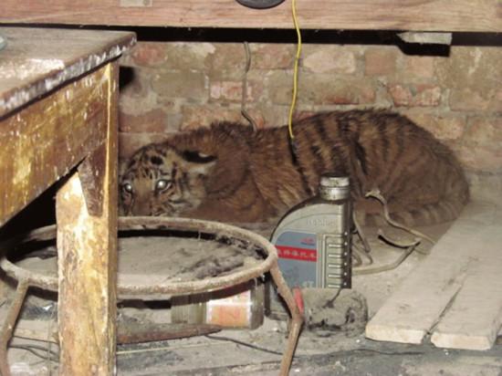 老虎闯入市民家中被误认为大猫
