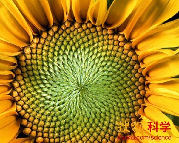 向日葵花盘中的数学奥秘