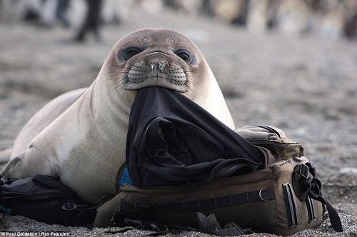 """调皮海豹游客包里""""偷""""衣 被摄影师抓现行"""