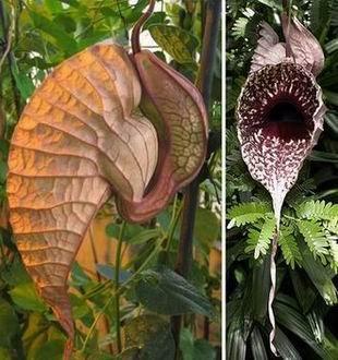 """食鼠猪笼草和""""降落伞花"""""""