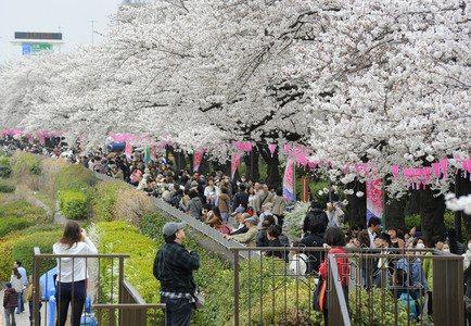 日本各地创下樱花早开纪录 赏花活动提前