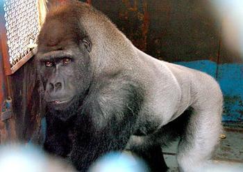猩猩有大智慧