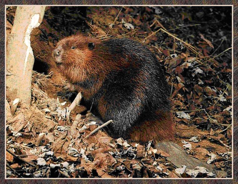 戒指广告有手模,丝袜广告有脚模,这位是牙模。它就是河狸,虽然号称狸,实则是只不折不扣的鼠,在分类上属于啮齿目河狸科河狸属。 河狸伴水而居,以新鲜树皮、树枝和芦苇、菖蒲这些水生植物为食。它们常常用树枝在水面上搭建水坝,在水坝里筑巢。河狸的巢,大门在水下, 会客室是用树枝搭建的圆顶大厅,浮在水面之上。会客室后面是卧室,常常建在河岸的泥土里。河狸不用锯、斧、凿、刨,所有的工具就是那对大门牙。一棵直径40厘米的大树,河狸只消两小时就可以咬穿。靠这对家伙,河狸成了牙膏广告中的常客。 河狸的个