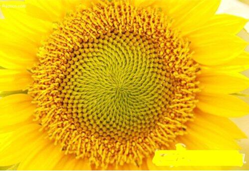 自然界里的数学 向日葵花盘中的数学奥秘