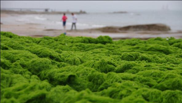 山东日照浒苔来袭海滨变绿地
